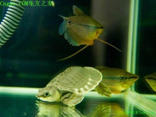 猪鼻龟(幼体)