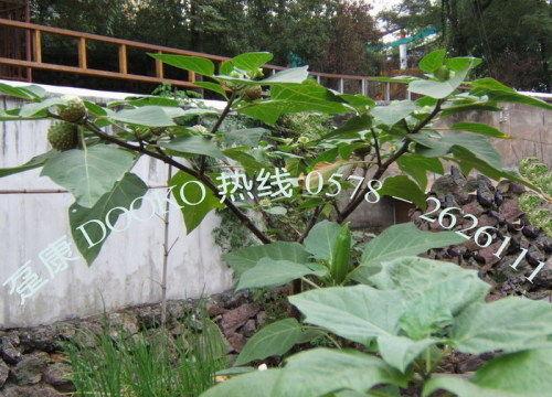 它还分为大花(白花)曼陀罗,红花曼陀罗,紫花曼陀罗等种类.