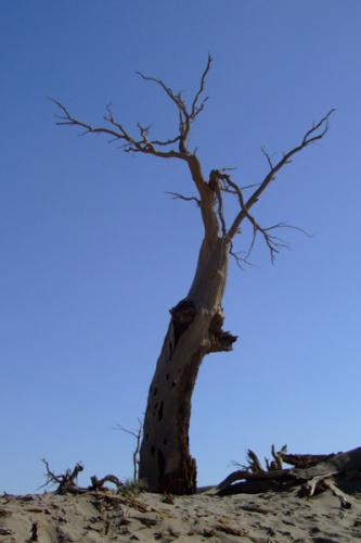 在怪树林,在黑水河边,在去黑水城的路上,到处可见已枯死,但依然屹立的