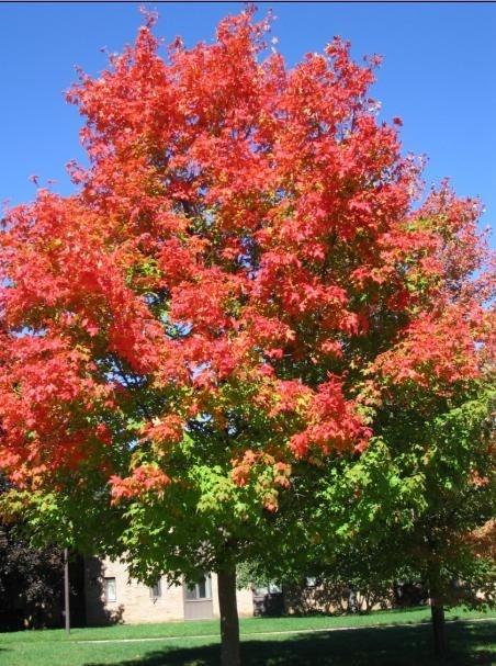 路边的枫树,红袄绿裤