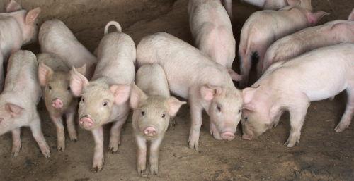 一群可爱的小猪仔,哈哈