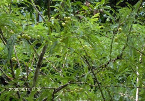 橄榄树在路边结满果子