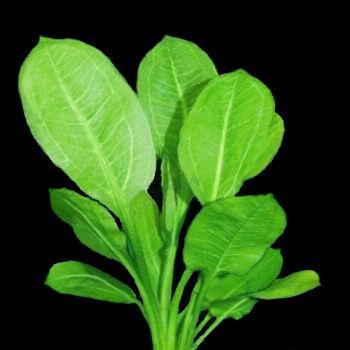 单子叶植物,挺水性水草