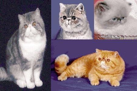 理想的异国短毛猫应是骨骼强壮,身材均称,线条柔软及圆润.