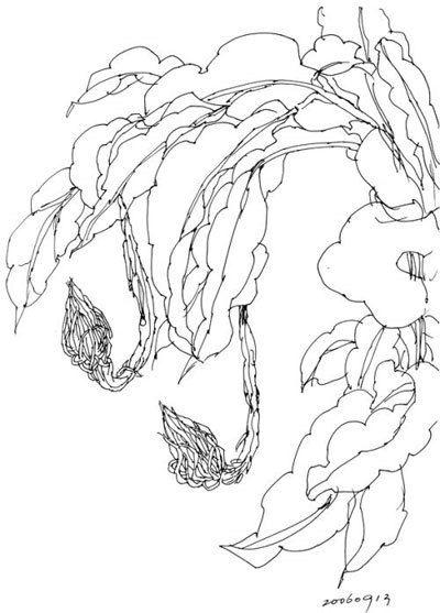 昙花简笔画怎么画-昙花小记 Night blooming cereus