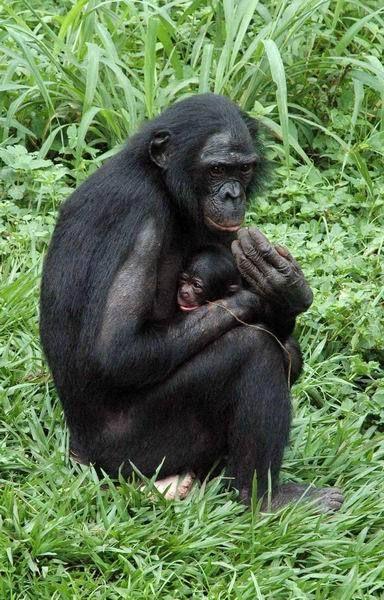 黑猩猩捕猎和杀死非同类的小动物,而且,这种捕猎常常带有集体活动的