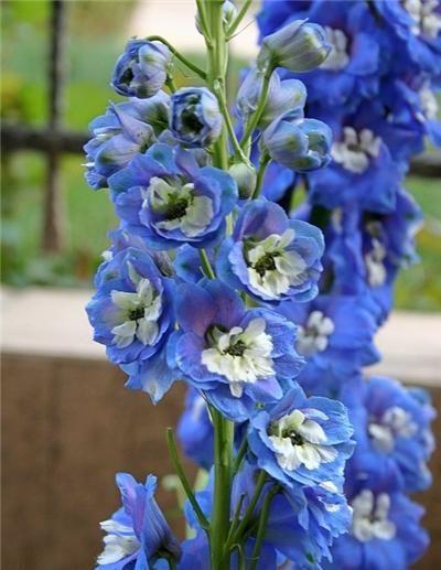 翠雀,为毛茛科翠雀属一二年生草本花卉